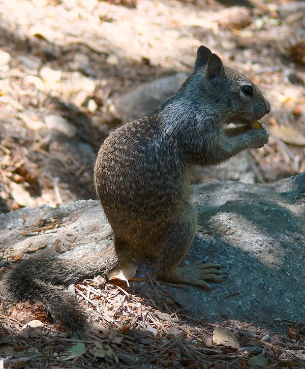 Squirrel Yocemite